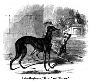 image of Italian greyhound but not Heyer's Tina