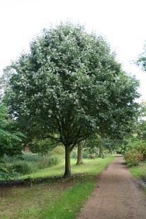 Whitebeam (sorbus aria) from chewvalleytrees.com