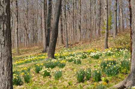 Spring colours : daffodils in flower among trees