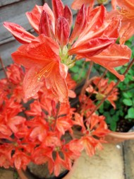 bright orange azalea flowers