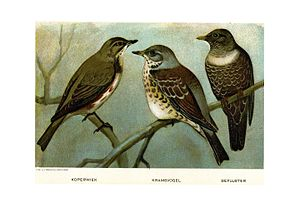 Redwing, fieldfare. ring ouzel