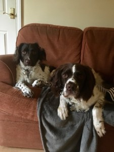 Kate Hardy's spaniels, Archie and Dexter