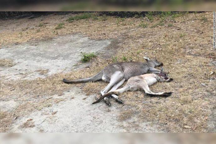 Dos adolescentes austriacos de 17 años son acusados de crueldad animal; mataron deliberadamente a 14 canguros