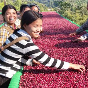 A group of smiling Sulawesi women harvesting coffee berries