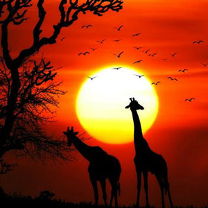 Silhouettes of two giraffes against a red sky and a setting sun