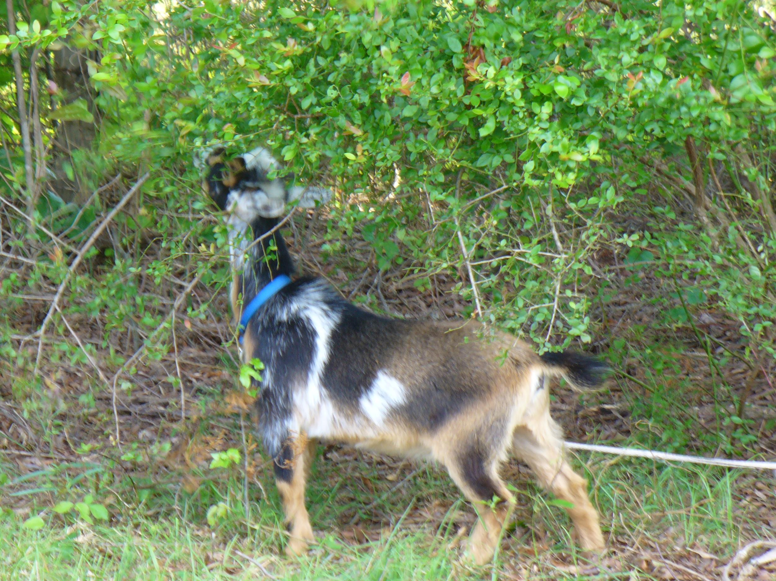 Edible and poisonous plants for goats liberty homestead farm