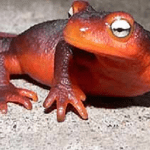 Trump Maligned By Specious Amphibian