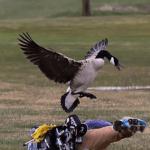 Goose, Goose, Duck? Teenager Encounters Surly Gander
