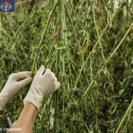 Enlita Farms Cannabis Harvest for CBD FEATURED