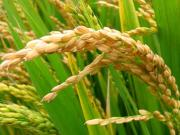 Rice: UNDP'S Agricultural Intervention Will Boost Production In Nigeria - Project Manager