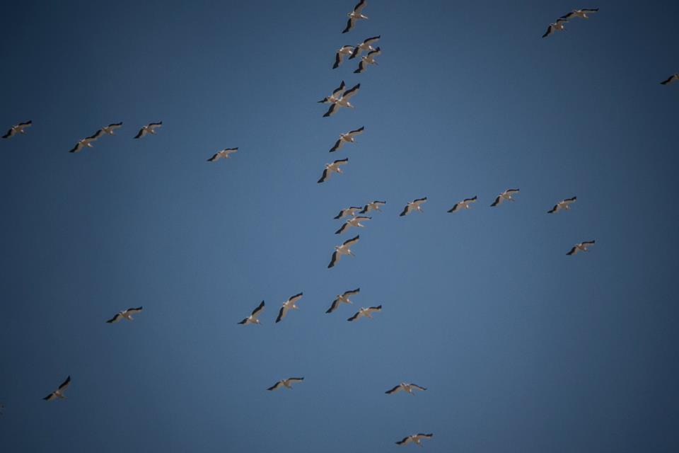migration des cigognes au Liban. Crédit Photo: François el Bacha, tous droits réservés.