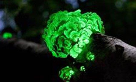 világító növények