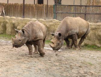 Szarvatlanítják az európai állatkertek orrszarvúit