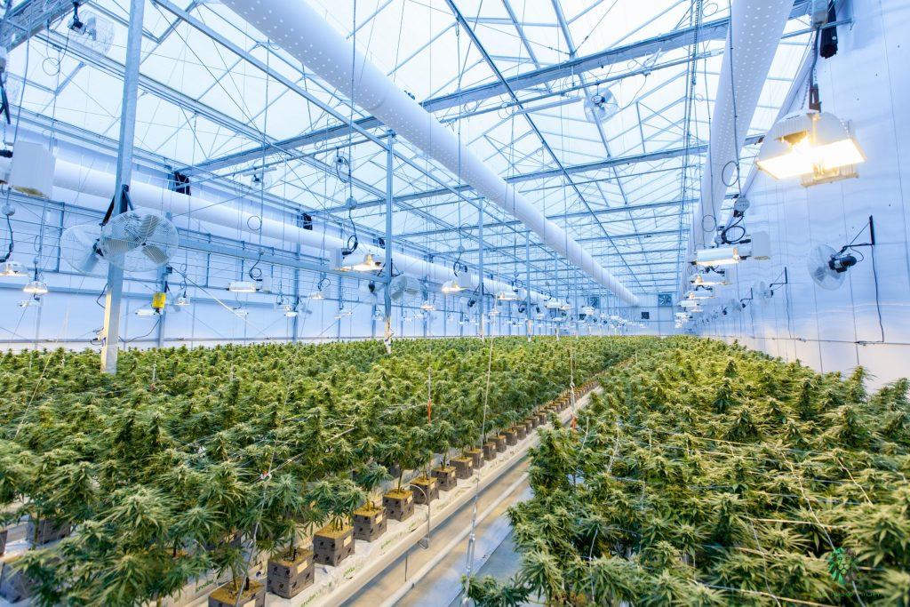 indoor plantation of cannabis plant