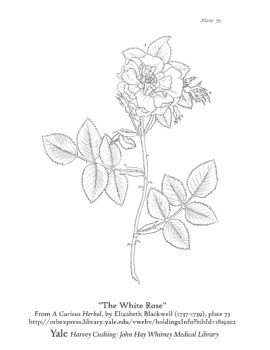 CWML_the_white_rose_cover