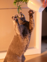 picture of a gray cat reaching for a potted plant