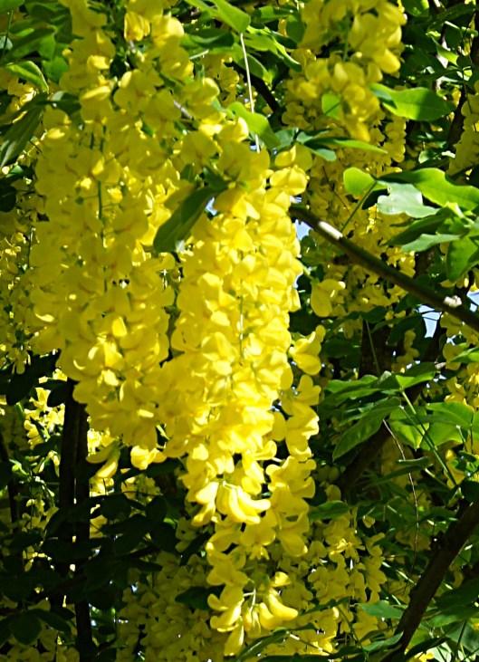 Cytise en fleur