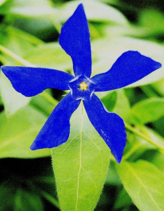 Fleur de parterre - Couverture du sol
