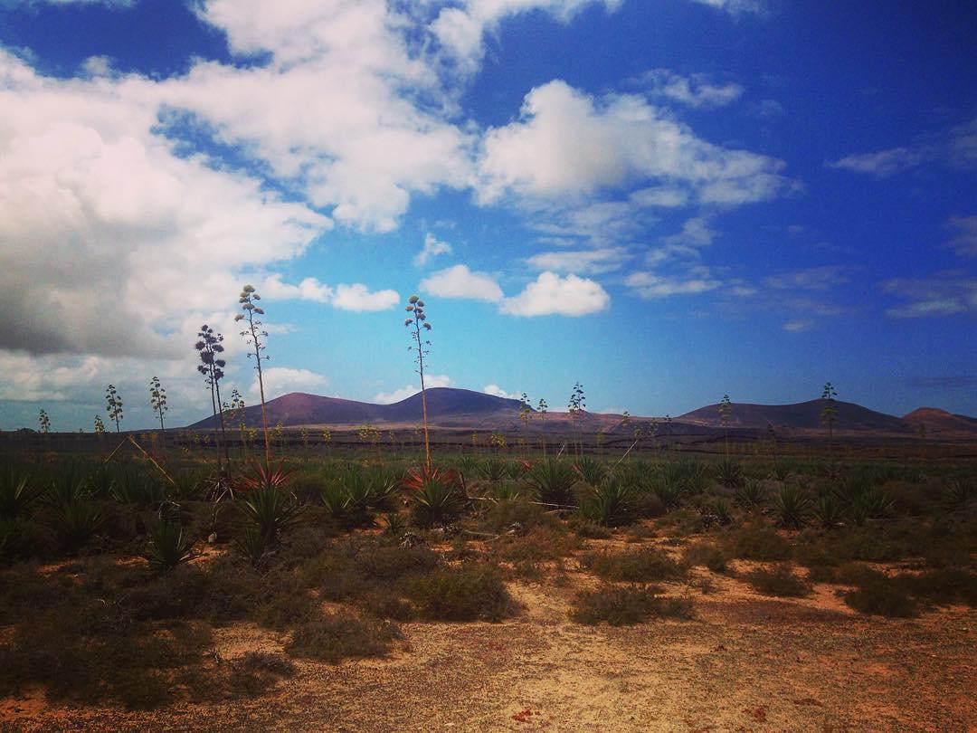 Île de Fuerteventura, Îles Canaries, Espagne. Plants d'aloe vera.