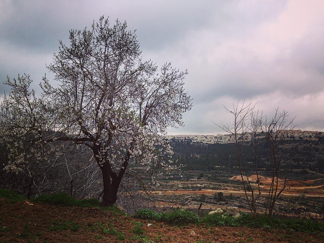 Village de Walaja, région de Béthléem, Palestine / municipalité de Jérusalem, Israël. Un amandier en fleur dans le jardin d'une maison palestinienne. Sur la colline en face, ce sont les faubourgs de Jérusalem.