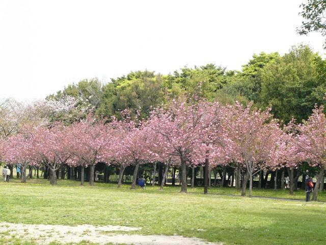 Pohon Sakura di Kebun Raya Cibodas (sumber)