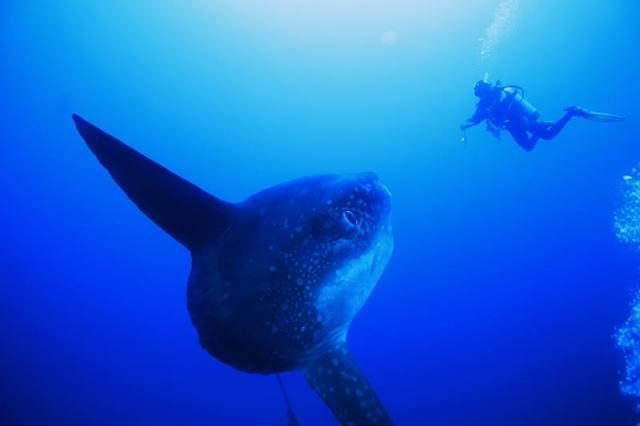 Mola - Mola in the waters around Nusa Penida.