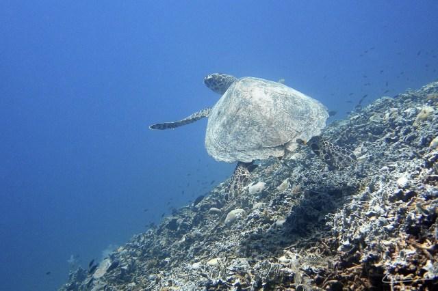 Turtles on the Gili Islands, Lombok, NTB