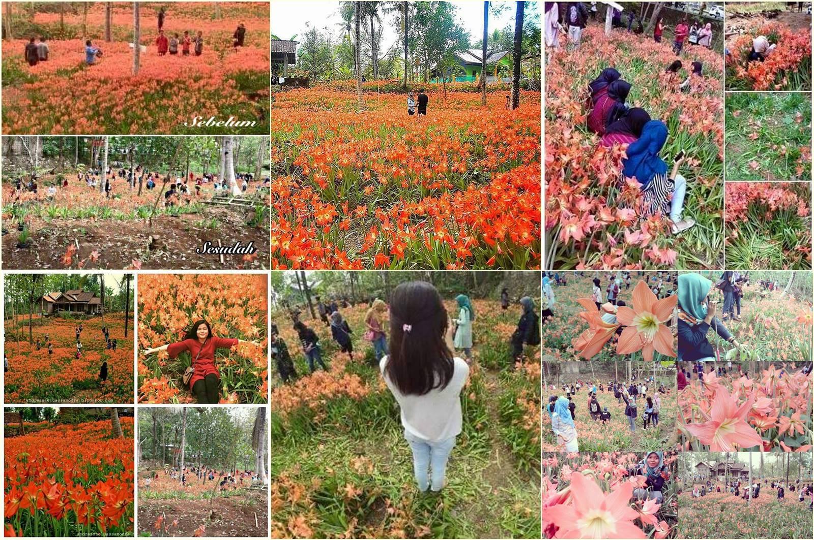 Kebun Bunga Puspa Patuk Amarilis Yogya Yang Bikin Deboh Dunia Maya Ini Rusak Dalam Hitungan Hari!!
