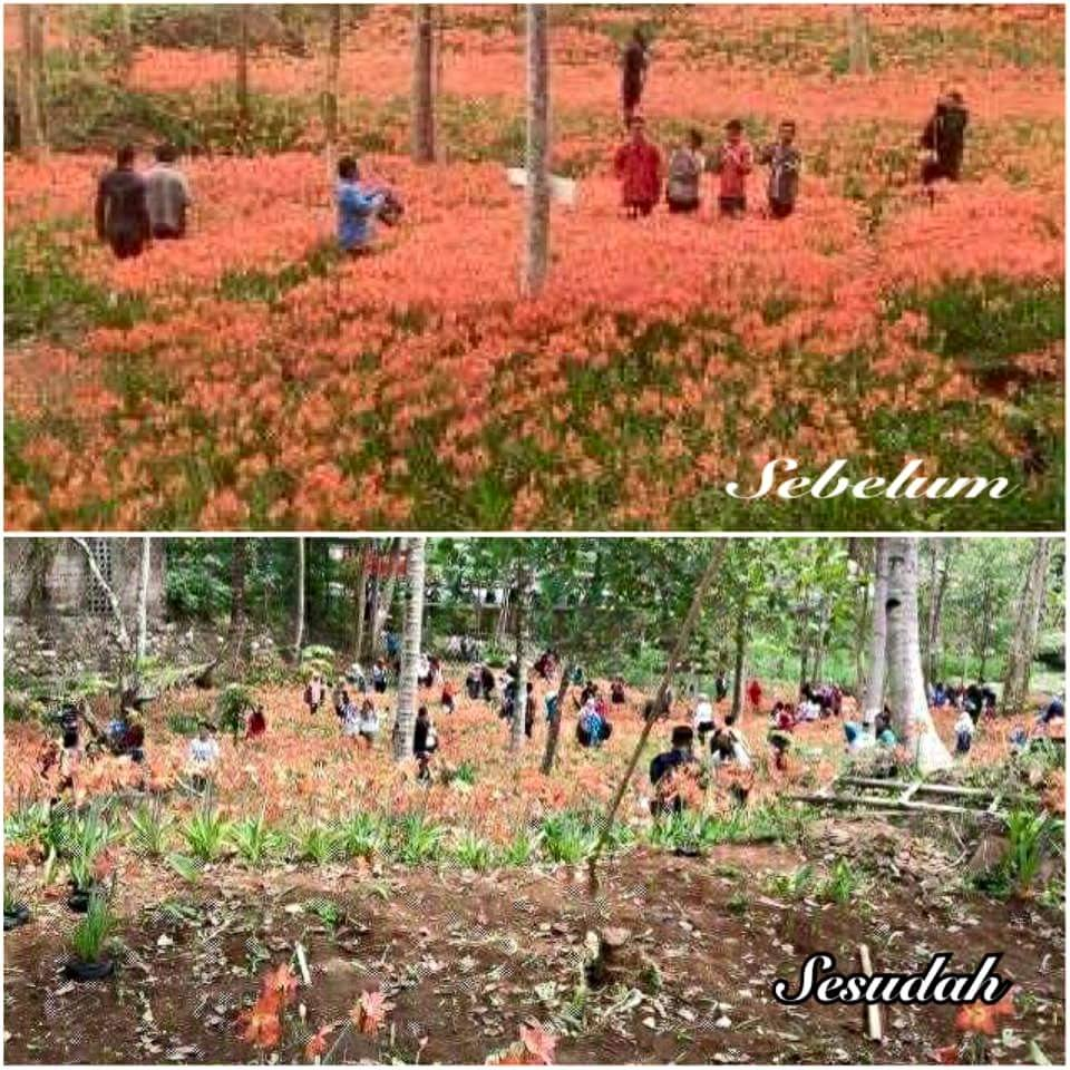 Flower Garden Puspa Patuk Amarilis Yogya before and after being vandalized people do not flower Gardening Flower Puspa Patuk Amarilis Yogya before and after damaged people irresponsible responsibility