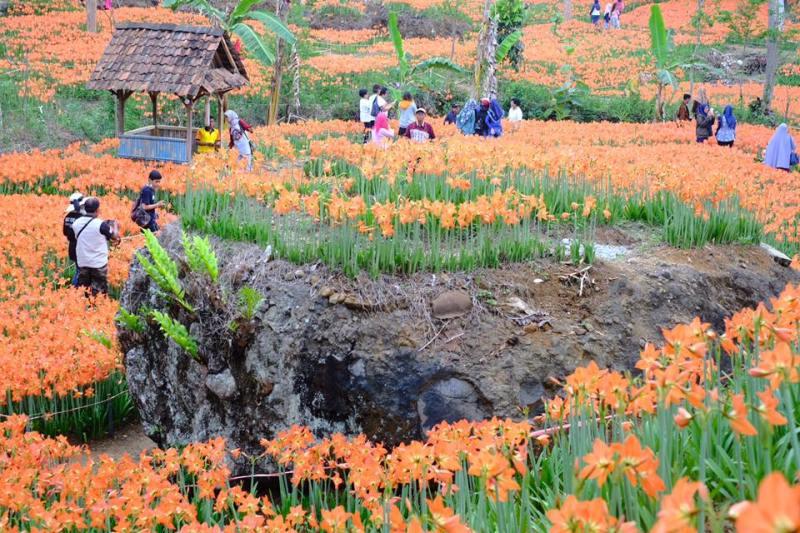 Belajar dari pengalaman sebelumnya, taman bunga amarilis yogyakarta ini sekarang tertata lebih rapi dan lebih siap dikunjungi