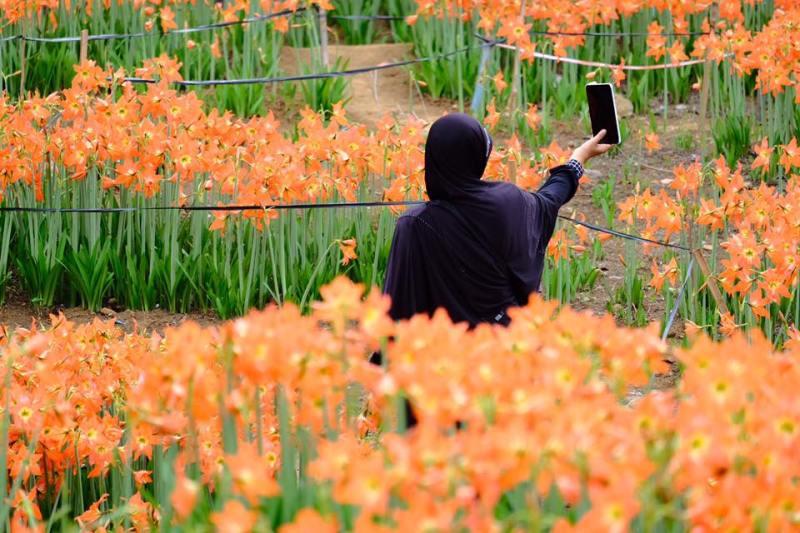 Biasanya pengunjung berdatangan untuk selfie di tengah taman bunga yang indah ini