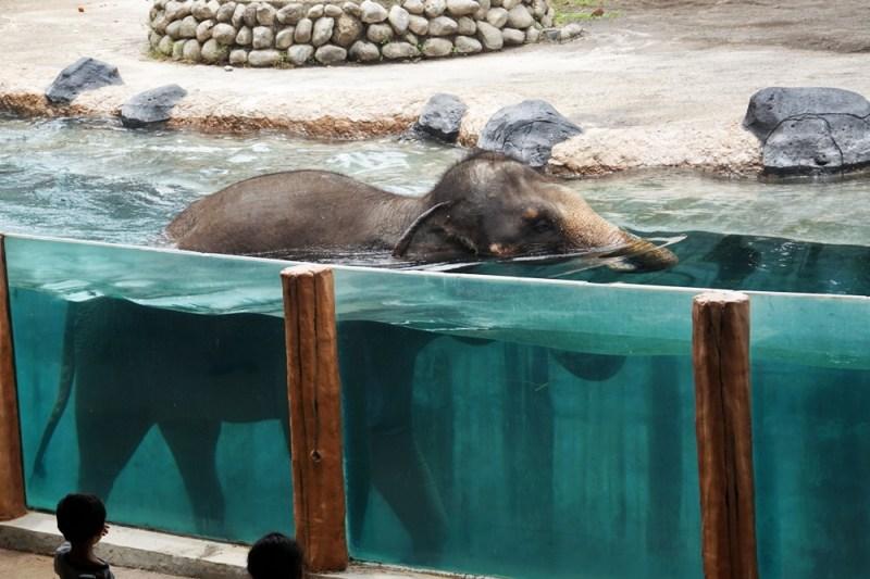 Gajah yang asik berenang