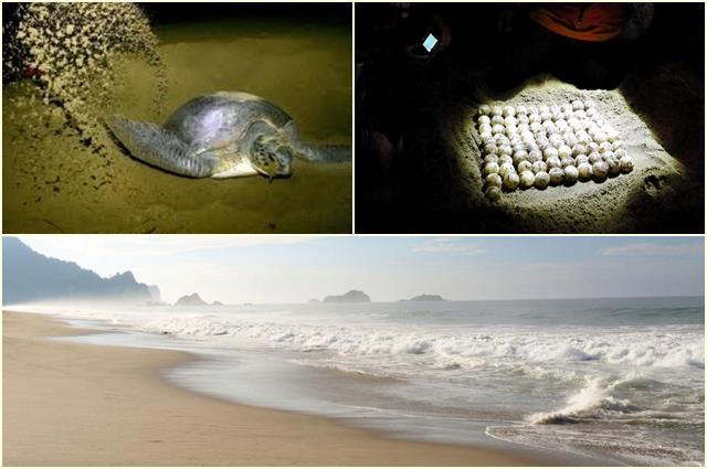 Di Pantai Sukamade Banyuwangi bisa melihat pantai cantik sekaligus Penyu lucu.