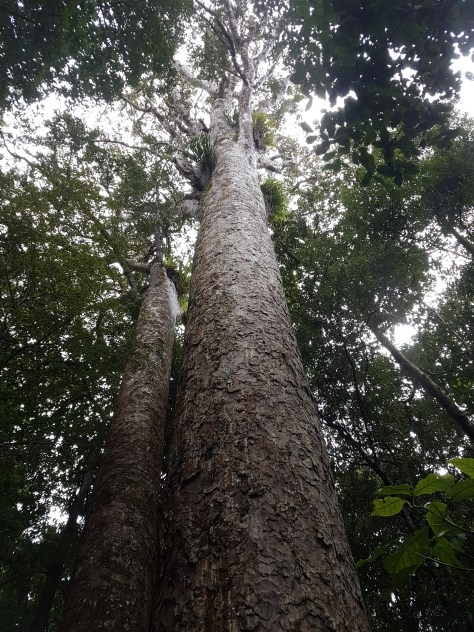 Standing tall and strong a healthy Kauri