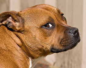 A Staffordshire Bull Terrier. Pic: Dark Morelia