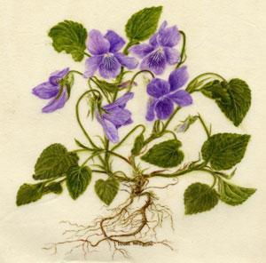 Violet-vellum