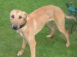 The greyhound found in Armitage