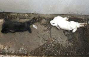 The rabbits found dead in Paul Poyner's garden. Pic: RSPCA