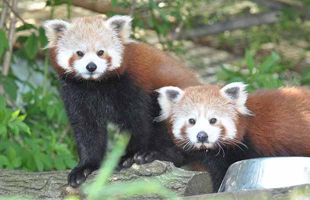 Red pandas Tika and Pema