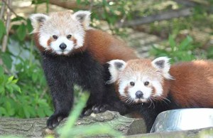 Red pandas Tika and Pema