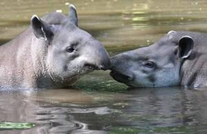 The tapirs making a splash at Drayton Manor Park