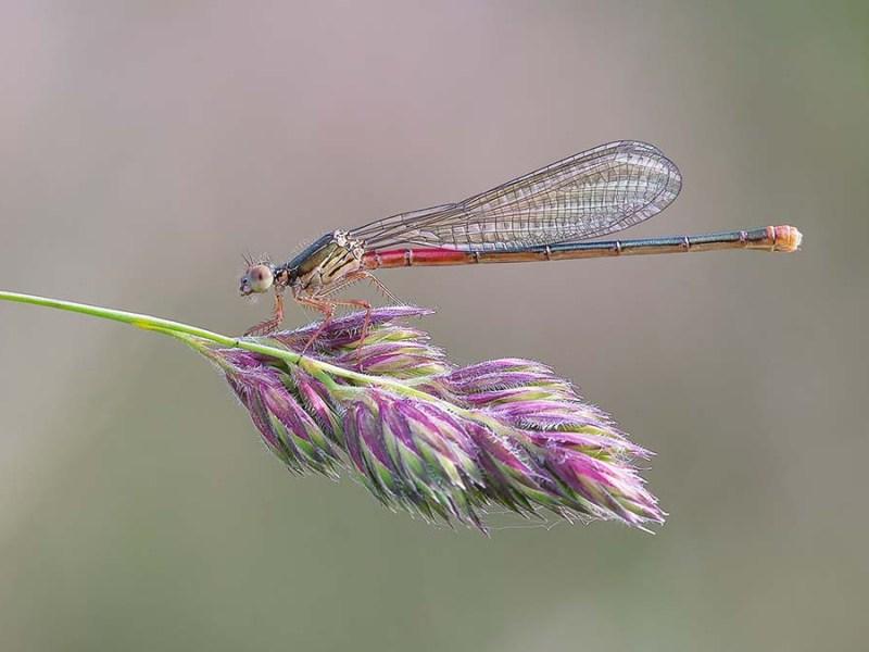 Female Small Red Damselfly by Darron Matthews