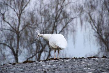 Weißer Pfau Vogel   Kamera