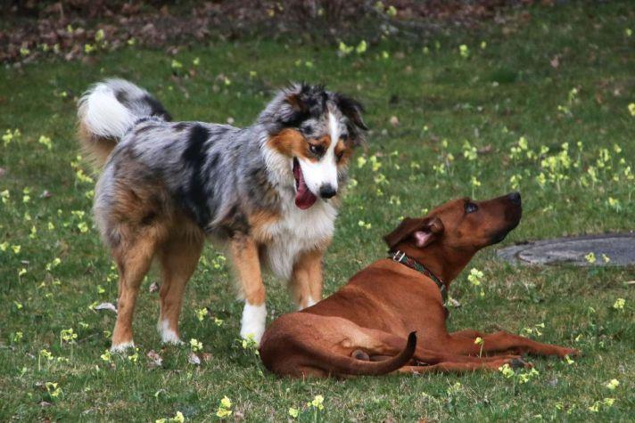 Spielend Australian Shepherd Pippin und Rhodesian Ridgeback Amon