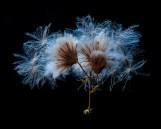 Pollen einer Distel Tageslicht-Gegenlicht
