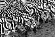 Peter Ernszt - Zebras