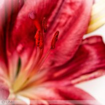 red-lilly