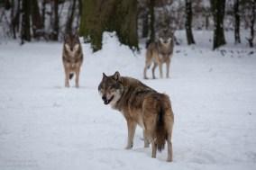 wolf-14