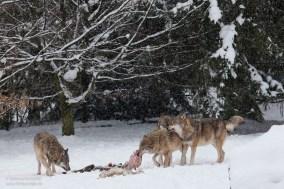 wolf-9