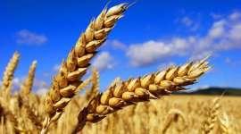Прогноз мирового производства пшеницы в 2016/17 МГ повышен на 3 млн тонн